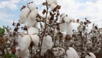 Imea aponta leva alta no preço do algodão em Mato Grosso
