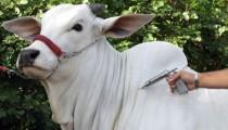 MT deve vacinar 28 milhões de bovinos contra aftosa em novembro