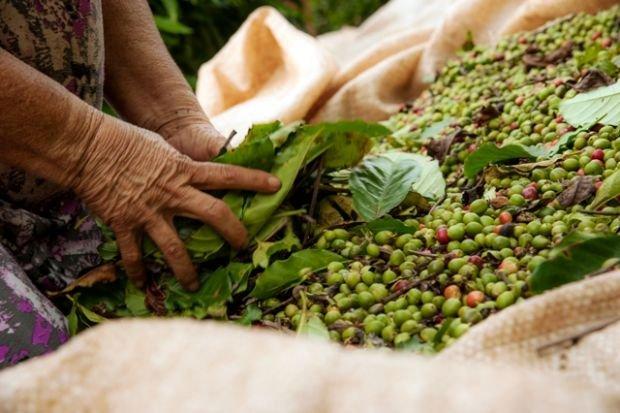 Ministério da Agricultura libera investimento de R$ 6 milhões para cultura de café em MT