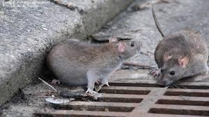 Doença de Ratos mata jovens em distrito de Colniza