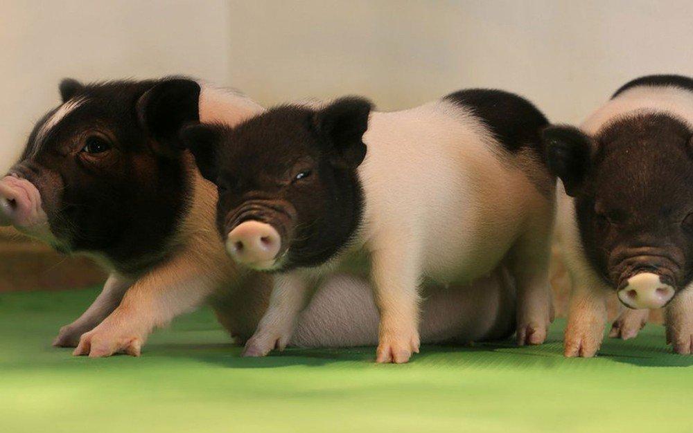 O avanço genético que pode possibilitar transplante de órgãos de porcos em humanos