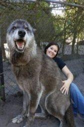 Lobo gigantesco salvo de abate em abrigo vira atração