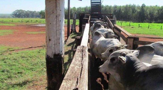 Polícia recupera 60 cabeças de gado furtadas