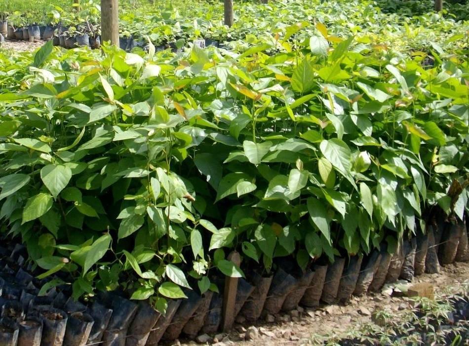 Mudas de árvores nativas são distribuídas para arborização em Aripuanã