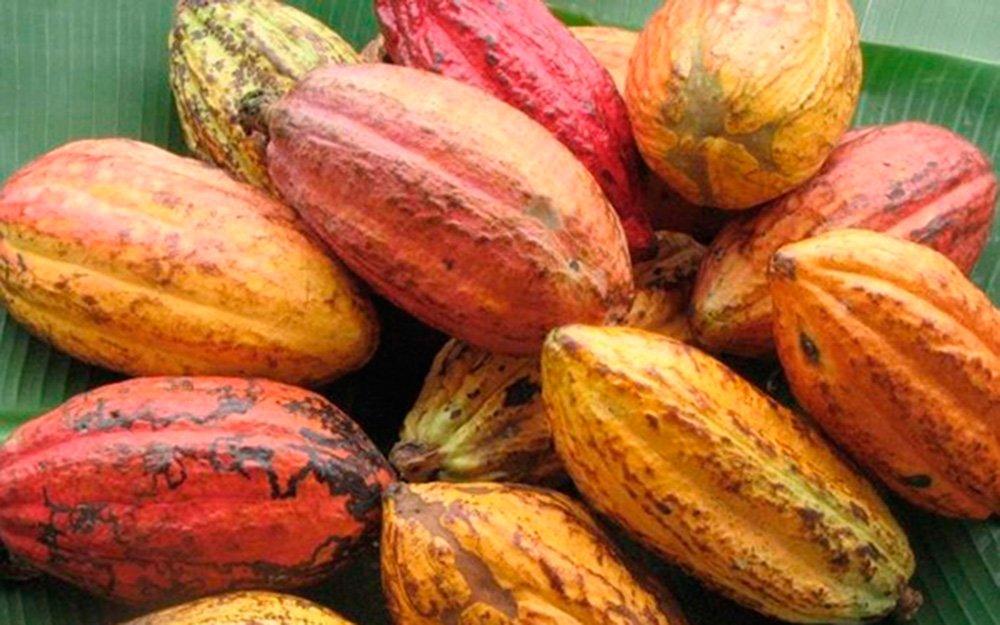 Cacau pode ser alternativa para diversificação de culturas em MT