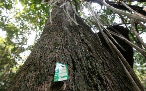 Setor florestal entra na justiça contra IBAMA por falhas no sistema que controla a madeira