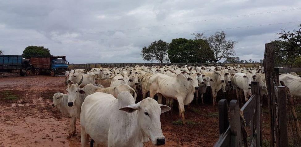 114 cabeças de gado são furtadas de fazenda em Alta Floresta