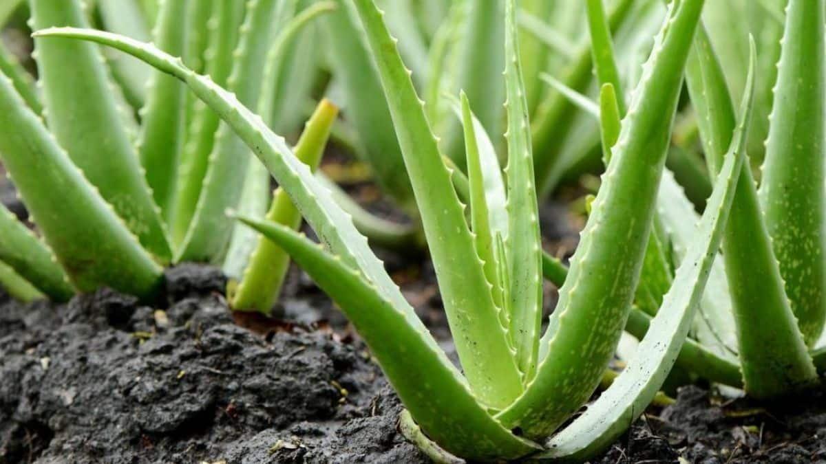 Plantas podem trocar sinais elétricos subterrâneos, sugere estudos