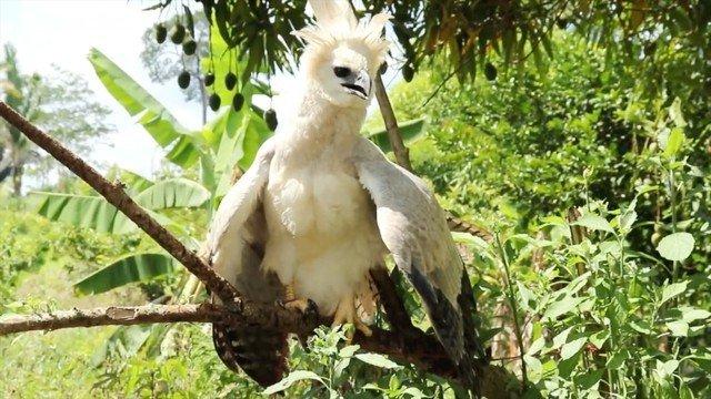 Filhote de águia de espécie rara que ficou sem 'casa' após floresta ser desmatada em MT é resgatada