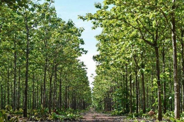 Produção de teca em Mato Grosso será destaque no 4º Encontro Brasileiro de Silvicultura