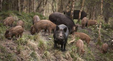 Amigo mata outro durante caça de porcos em MT; tiro foi de pressão
