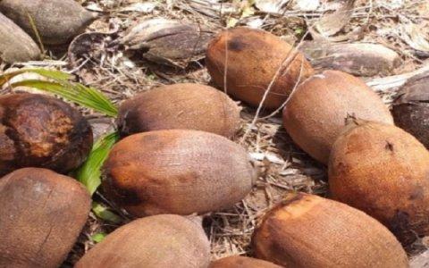 Agricultoras transformam coco do babaçu em fonte de renda com a produção de farinha em Colniza