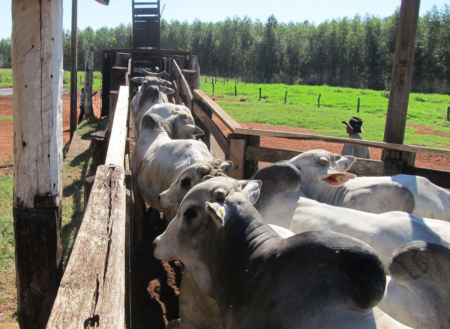 Bandidos armados com fuzil fazem gerente de fazenda e família reféns e roubam 400 cabeças de gado em MT