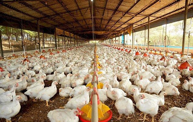 Falta de ração gera canibalismo em granjas de Mato Grosso