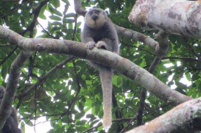 Pesquisadores de MT descobrem nova espécie de macaco na Amazônia