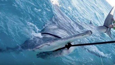 Pescadores fisgam tubarão-martelo de 4,5 metros