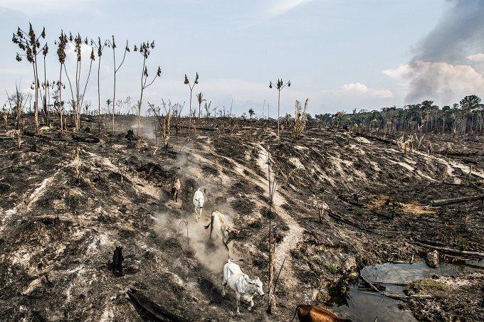 Em Mato Grosso, o gado invade a floresta