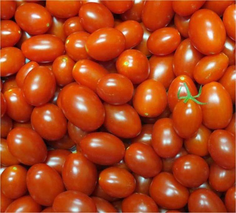 Embrapa cria tomates mais nutritivos e com maior produtividade