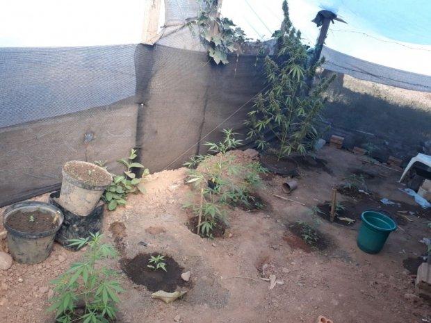 PJC prende irmãos acusados de cultivarem maconha em estufa