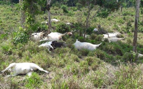 Raio mata 34 cabeças de gado em Aripuanã